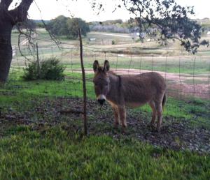 miniature.donkey